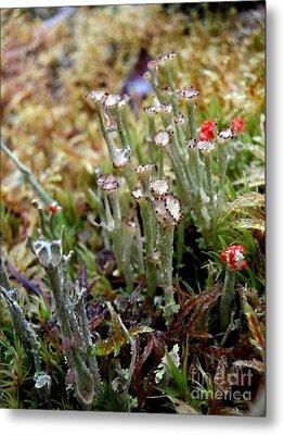 Blooming Lichen Metal Print by Steven Valkenberg