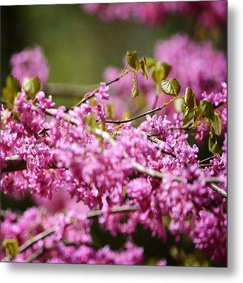 Blooming Redbud Tree Cercis Canadensis Metal Print by Rebecca Sherman