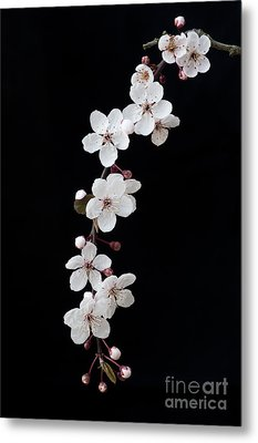 Blossom On Black Metal Print by Tim Gainey
