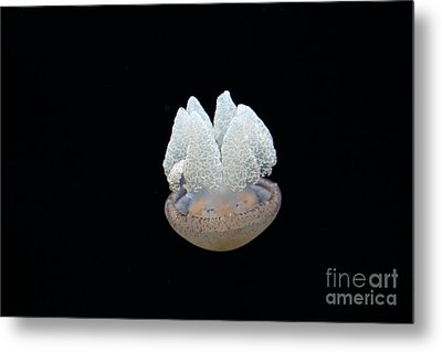 Blubber Jelly Fish 5d24960 Metal Print by Wingsdomain Art and Photography