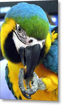 Blue And Gold Macaw With A Peanut Metal Print by  Andrea Lazar