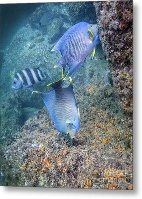 Blue Angelfish Feeding On Coral Metal Print by Michael Wood