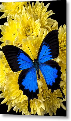 Blue Butterfly On Poms Metal Print by Garry Gay