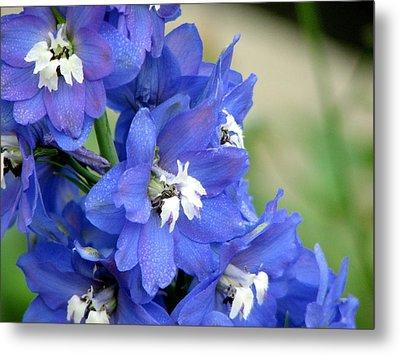 Blue Delphinium Flower Metal Print by Bonita Hensley