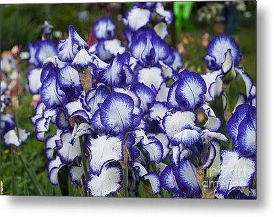 Blue Edged Iris Metal Print by Mandy Judson