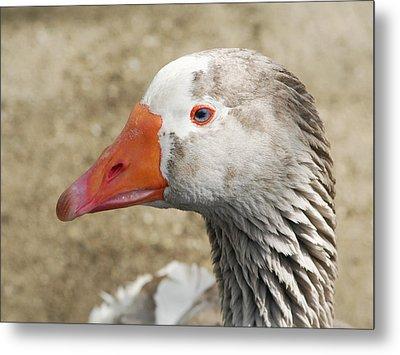 Blue-eyed Goose Metal Print by Bob and Jan Shriner