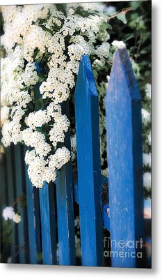 Blue Garden Fence With White Flowers Metal Print by Elena Elisseeva