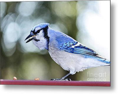 Blue Jay Bird Metal Print by Elena Elisseeva
