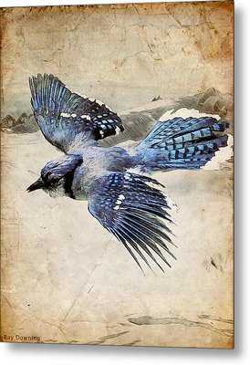 Blue Jay In Flight Metal Print by Ray Downing