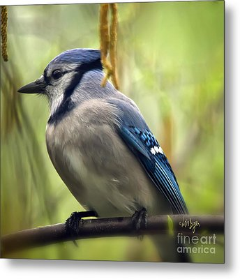Blue Jay On A Misty Spring Day - Square Format Metal Print by Lois Bryan
