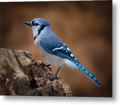 Blue Jay Metal Print by Steve Zimic