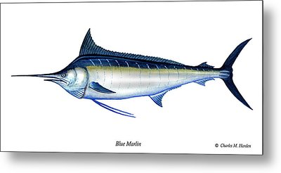 Blue Marlin Metal Print by Charles Harden