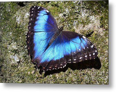 Blue Morpho Butterfly Metal Print by AnnaJo Vahle