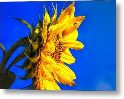 Blue Sky Sunshine Sunflower Metal Print by Bob Orsillo