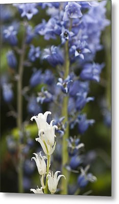 Bluebells 1 Metal Print by Steve Purnell