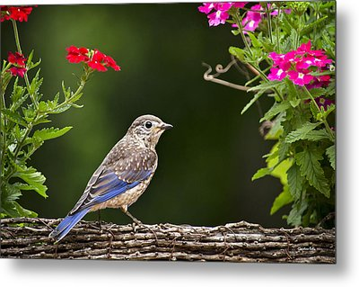 Bluebird Chick Metal Print by Christina Rollo