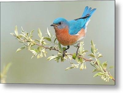 Bluebird Floral Metal Print by William Jobes