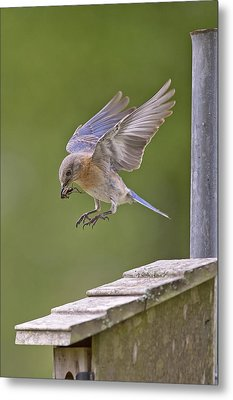 Bluebird Landing Metal Print by Bonnie Barry