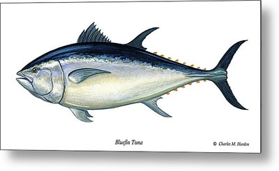 Bluefin Tuna Metal Print by Charles Harden