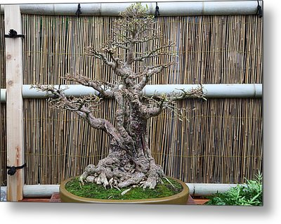 Bonsai Treet - Us Botanic Garden - 01137 Metal Print by DC Photographer