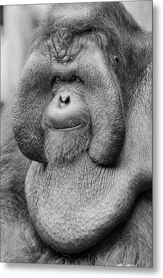 Bornean Orangutan IIi Metal Print by Lourry Legarde