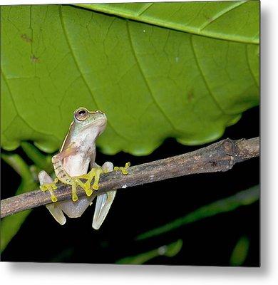 Boulenger's Tree Frog Metal Print by K Jayaram