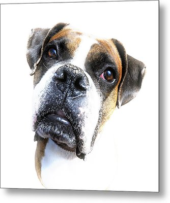 Boxer Expression Metal Print by Susan Leggett