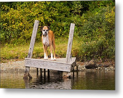 Boxer On Lake Dock Metal Print by Stephanie McDowell