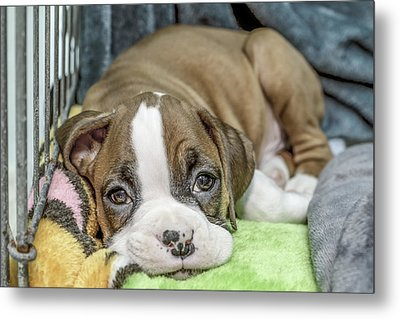 Boxer Puppy Among Toys Metal Print by Tony Moran