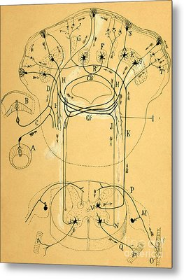 Brain Vestibular Sensor Connections By Cajal 1899 Metal Print by Science Source