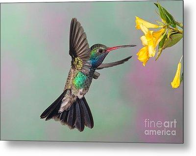 Broad-billed Hummingbird Metal Print by Jim Zipp