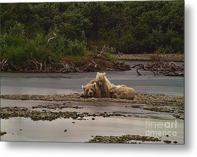 Brown Bear And Cubs Taking A Break From Fishing For Salmon Metal Print by Dan Friend