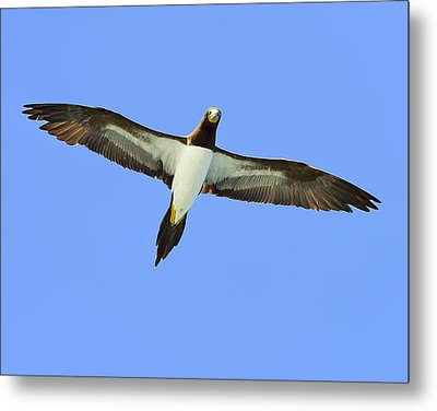 Brown Booby Metal Print by Tony Beck