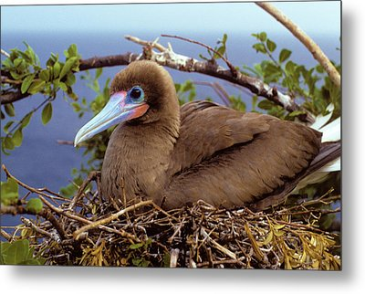 Brown Color Morph Of Red-footed Booby Metal Print by Thomas Wiewandt