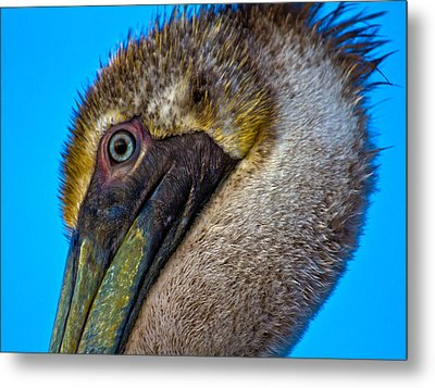Brown Pelican Metal Print by Betsy Knapp