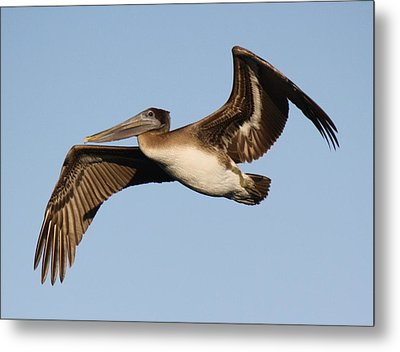 Brown Pelican Metal Print by Paulette Thomas