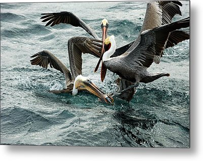 Brown Pelicans Stealing Food Metal Print by Christopher Swann