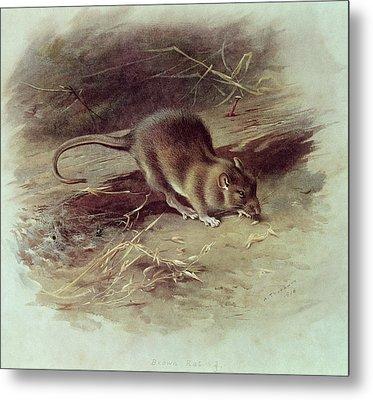 Brown Rat Rattus Norvegicus 1918 Coloured Engraving Metal Print by Archibald Thorburn