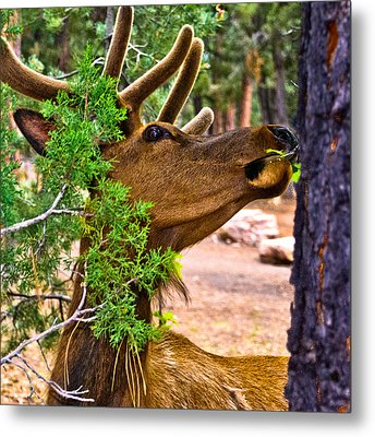 Browsing Red Deer In The Grand Canyon Metal Print by Bob and Nadine Johnston