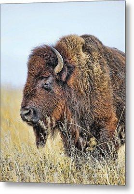 Buffalo Portrait Metal Print by Dale Erickson
