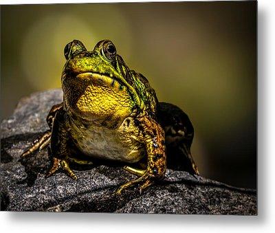 Bullfrog Watching Metal Print by Bob Orsillo