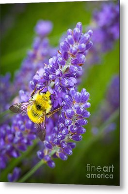 Bumble Bee And Lavender Metal Print by Inge Johnsson