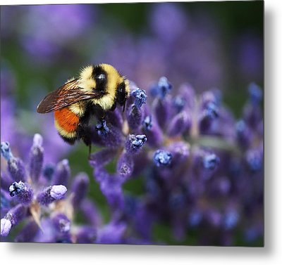 Bumblebee On Lavender Metal Print by Rona Black