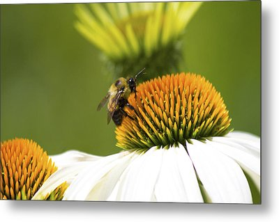 Bumblebee Pict 3 Metal Print by Michel DesRoches