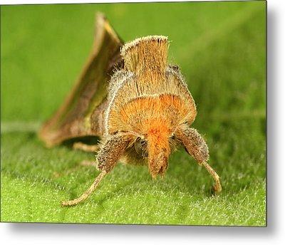 Burnished Brass Moth Metal Print by Nigel Downer