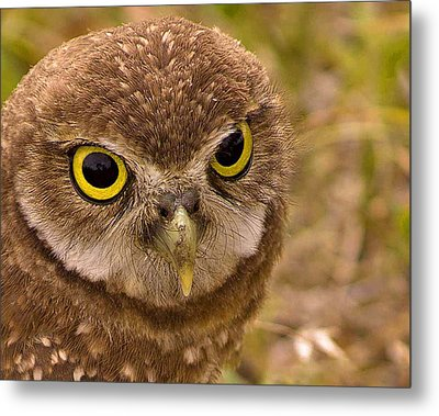 Burrowing Owl Portrait Metal Print by Anne Rodkin