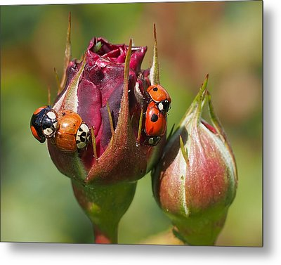 Busy Ladybugs Metal Print by Rona Black
