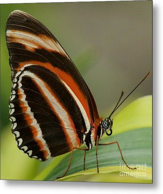 Butterfly Autumn With Green Head Metal Print by Gail Matthews