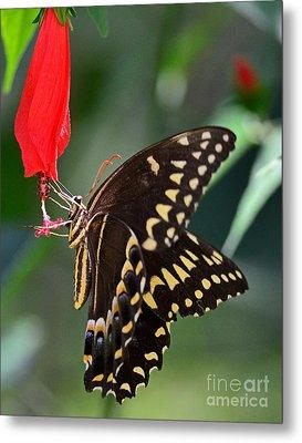 Butterfly Black Swallowtail Palamedes Metal Print by Wayne Nielsen