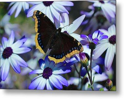 Butterfly In Blue Metal Print by Heidi Smith